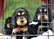 The Unexpected Outcome of Stiff New Pet Breeding Laws