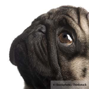 Are Your Brachycephalic Dogs Having Breathing Problems