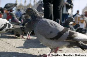 Finally, Pigeons Get a Little Respect