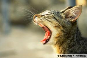 Tooth Resorption - A Painfully Common Dental Disease in Cats