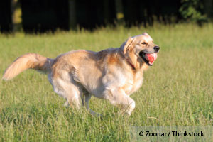 Your Dog Gets a Runner's High from Prolonged Aerobic Exercise