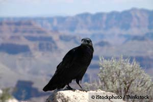 The Raven: One Very Smart Creature