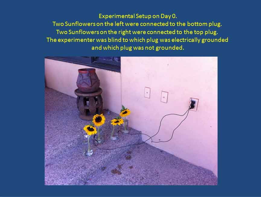 Sunflower Experiment 01