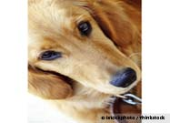 Golden Retriever Lifetime Study Now Open for Enrollment