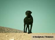 This Labrador Hunts Bones for a Living
