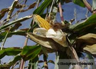 Analysis Identifies Shocking Problems with Monsanto's Genetically Engineered Corn