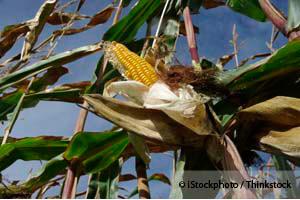 Maiz Transgenico de Monsanto