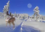 One Thing Most People Don't Know About Reindeer