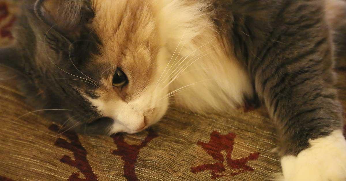 Diabetes Mellitus: A Common Disease in Cats