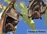 Bats Live Long Healthy Lives… and Now We Know Why