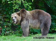 Obese Grizzly Bears Lose Hundreds of Pounds on Natural Diet