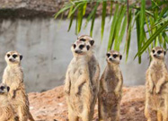 Cool Facts About Meerkats