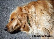Overheated Dog