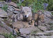 Born to Be Wild: Why Wolves Are and Dogs Aren't