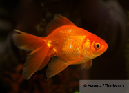Giant Goldfish One of Several Trespassers in Lake Tahoe