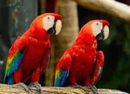 Complete Genome of Scarlet Macaw Sequenced for First Time