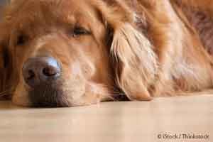 Dog Circovirus