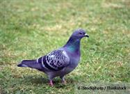 Pigeons: These Unremarkable Birds Are Remarkably Smart