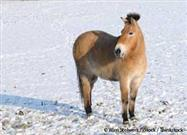Meet Przewalski's Horse: The Last Wild Horse on Earth