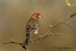 Wild House Finch