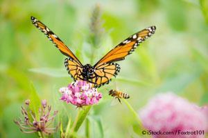 Abejas y Mariposa Monarca