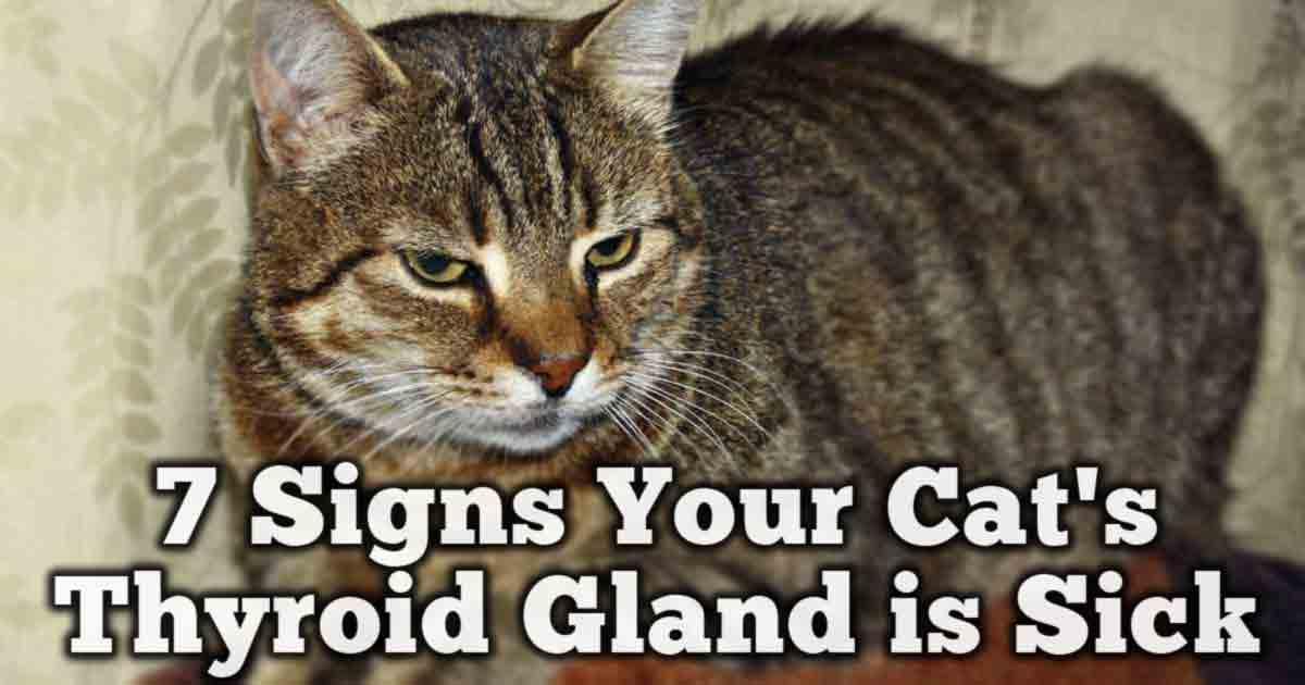Cat Food For Hyperthyroidism