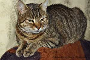 Signs And Symptoms Of Feline Hyperthyroidism