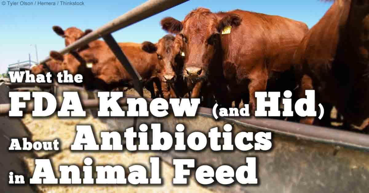 antibiotics in animal feed essay