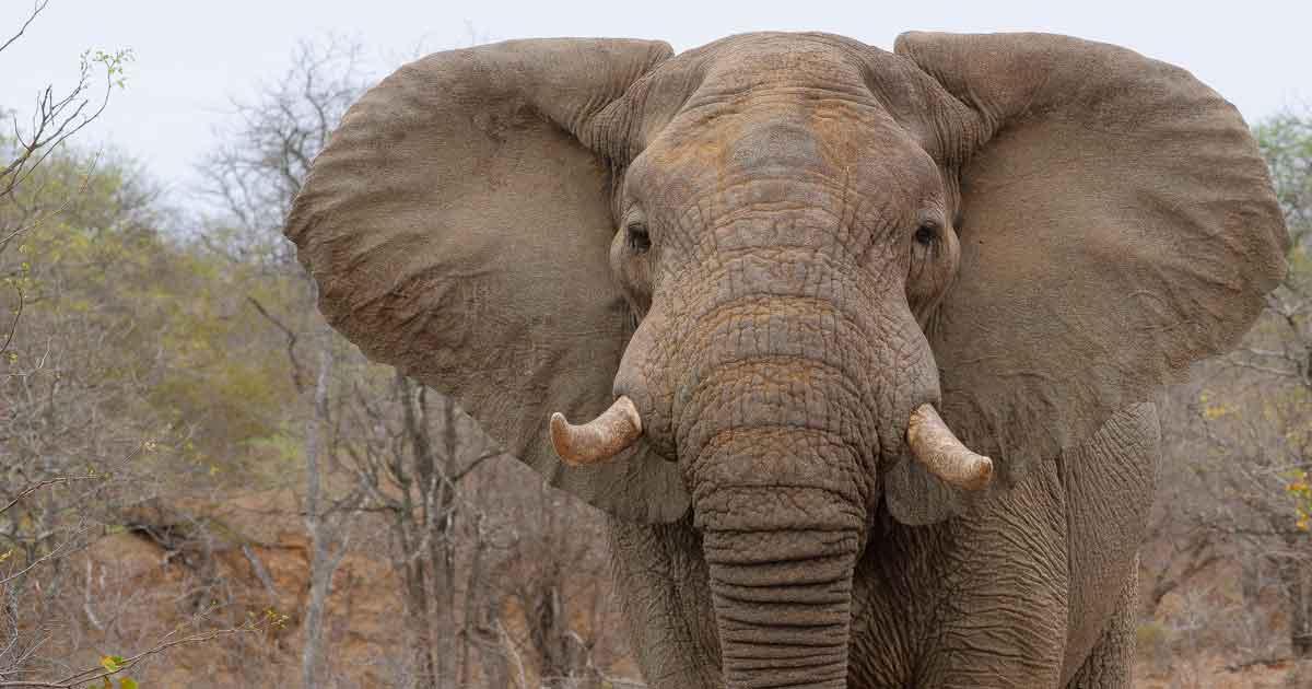 Elephant Anatomy 101 Facts About Elephants
