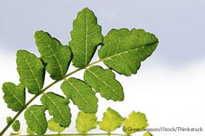 frankincense bowsellia leaf