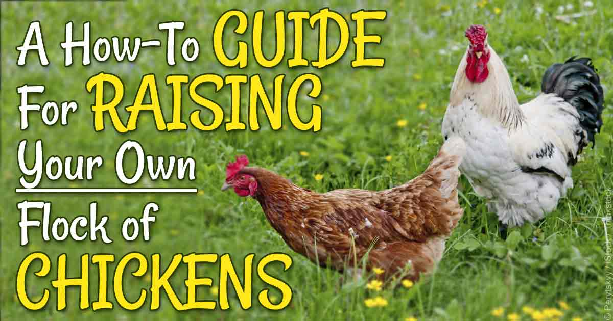 raise chickens in backyard - 28 images - top 5 reasons to ... Raising Chickens