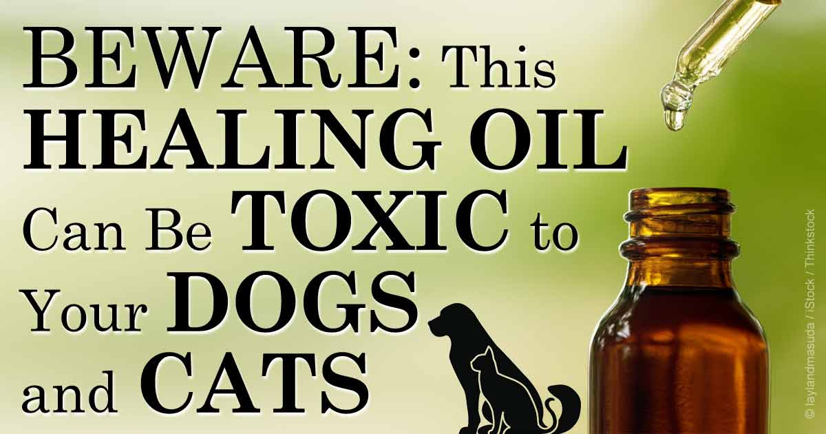 Tea Tree Oil Great For Your Cuts But Use With Caution On Pets