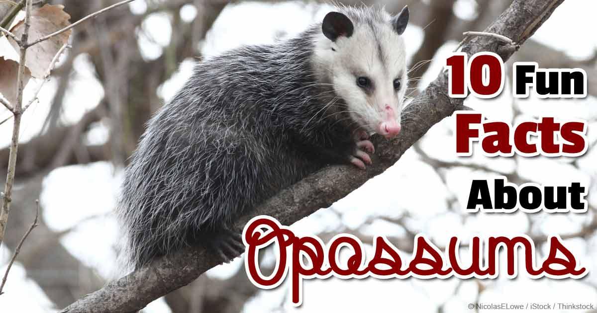 possums as pets