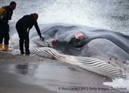 Saving Stranded Whales