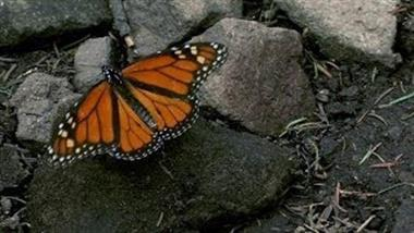 American Agriculture May Eradicate the Monarch Butterfly Unless Swift Action Is Taken