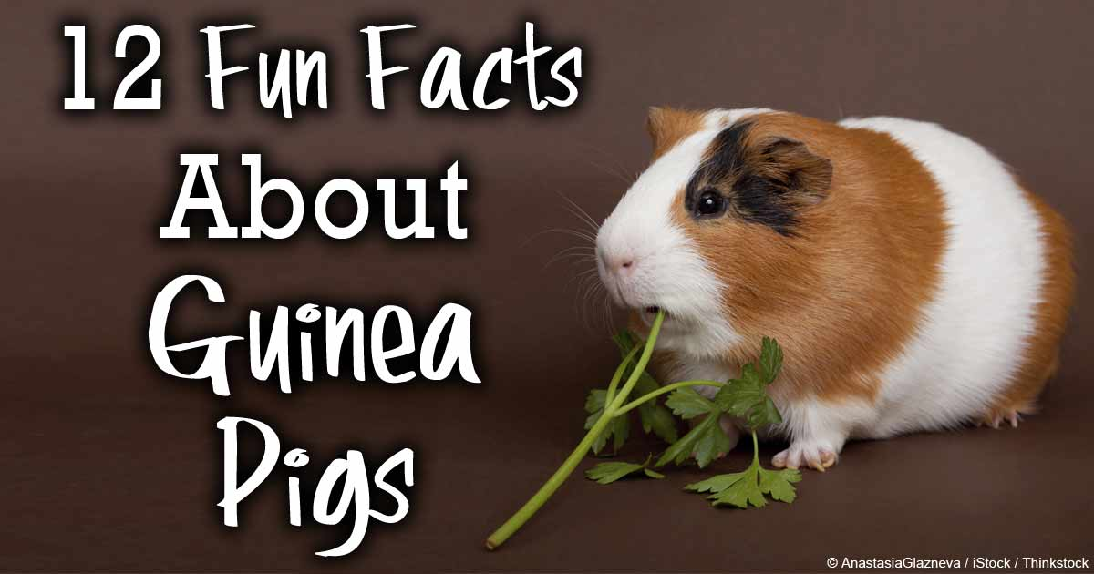 12 fun facts about guinea pigs you should know for Diy guinea pig things