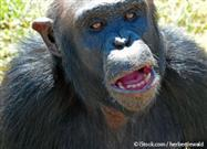 Do Chimpanzees Like Humans?