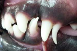 Persistent Baby Teeth in a Dog