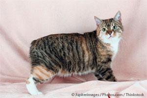 Manx: The Ancient Cat Breed That May Not Be Full Grown Until Age 5