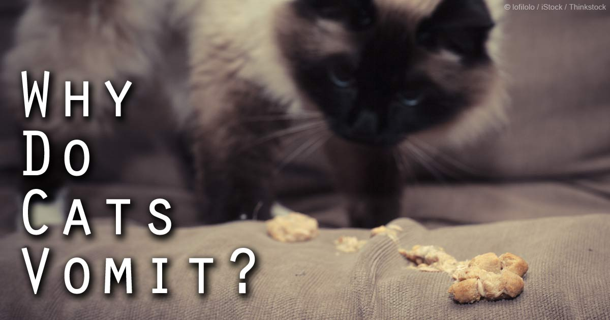 what does cats eat besides cat food
