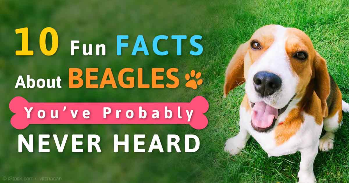 How Long Can A Beagle Dog Live