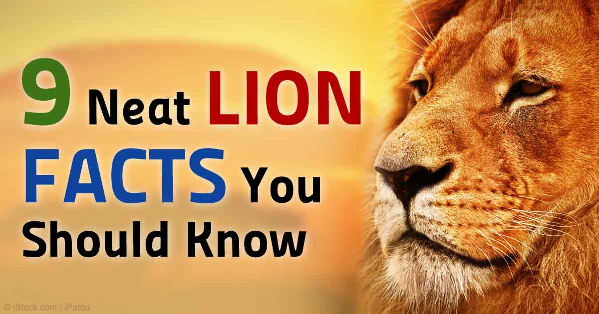 9 Interesting Facts About Lions You Should Know