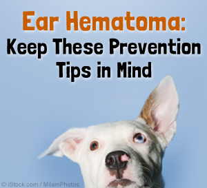Dog Ear Hematoma Treatments