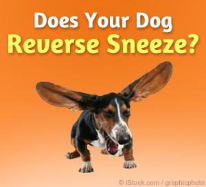 Dog Reverse Sneezing