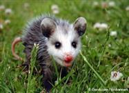 Opossum as an anti-venom