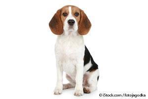 Hechos Sobre los Beagles