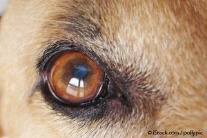 5 Diseases That Cause Blue Eyes In Dogs