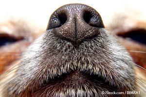 Sentido del Olfato de los Perros