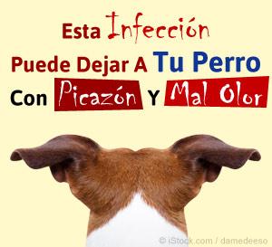 esta infeccion puede dejar a tu perro con picazon y mal olor