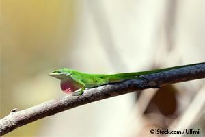 Lagarto Anolis Verde
